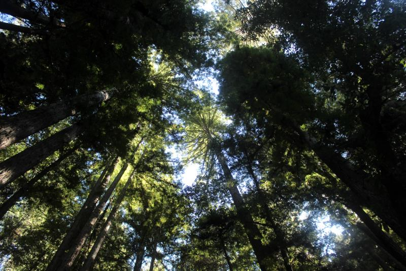 Looking up at trees on way back from Five Finger Falls