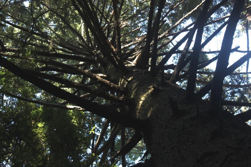 Looking up at branches on tree in Nisen Marks State Park