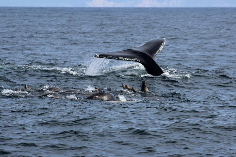 Humpback Whale fluke with sea Sea Lions