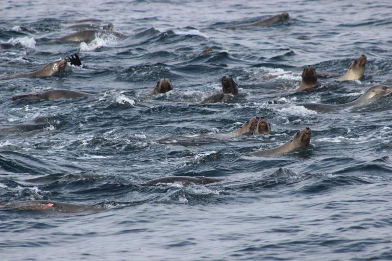 A group of Sea Lions looking for food