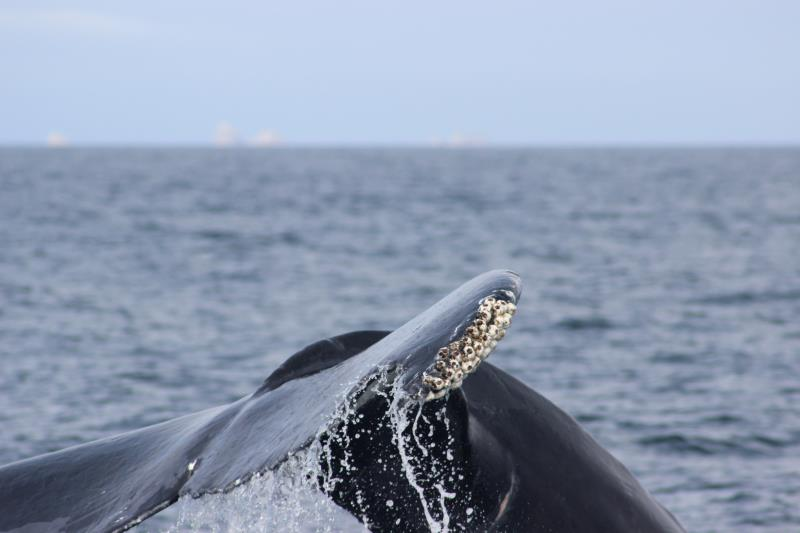 Humpback Whale Fluke with barnacles and North Farallon Islands