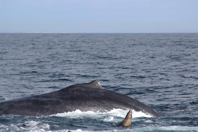 Sea Lion and Humpback Whale Fin