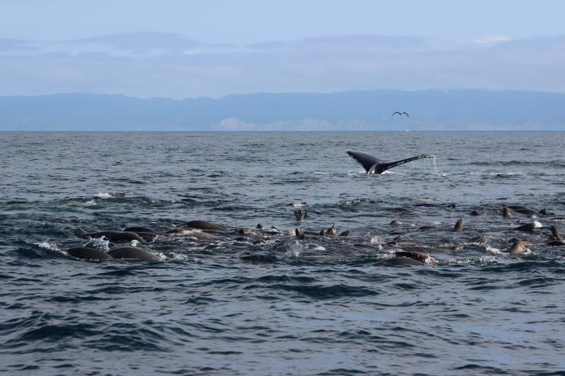 Sea Lions and Humpback Whale Fluke