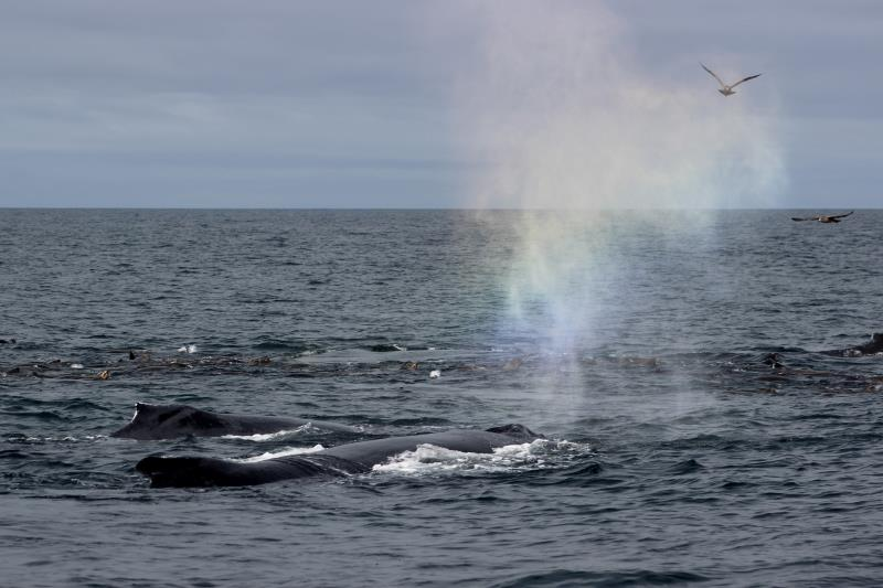 Rainbow in mist of Humpback Whale