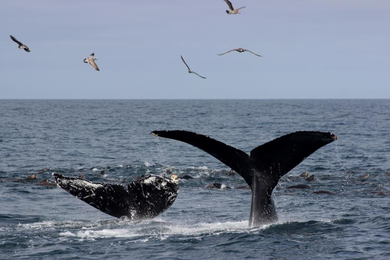 Humpback Whale Flukes with birds