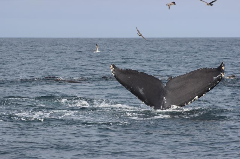 Humpback Whale Fluke with birds
