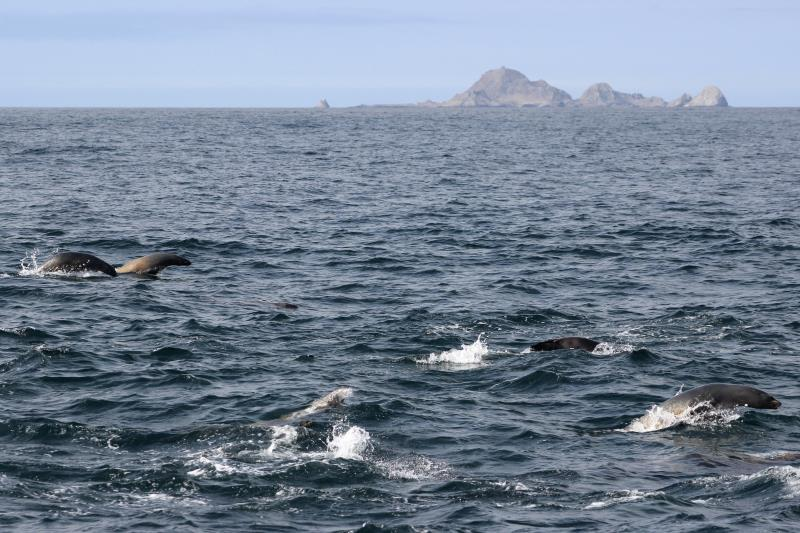 Sea Lions swimming with South East Farallons in background