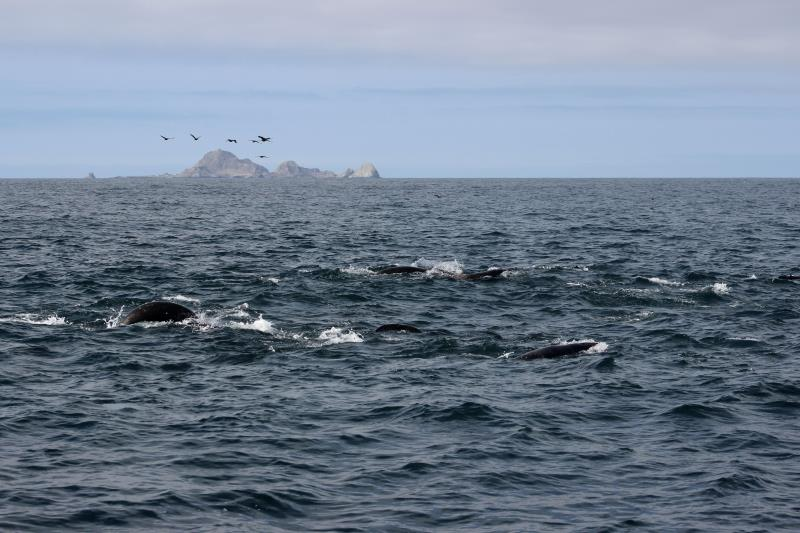 Sea Lions swimming and birds above with South East Farallons in background