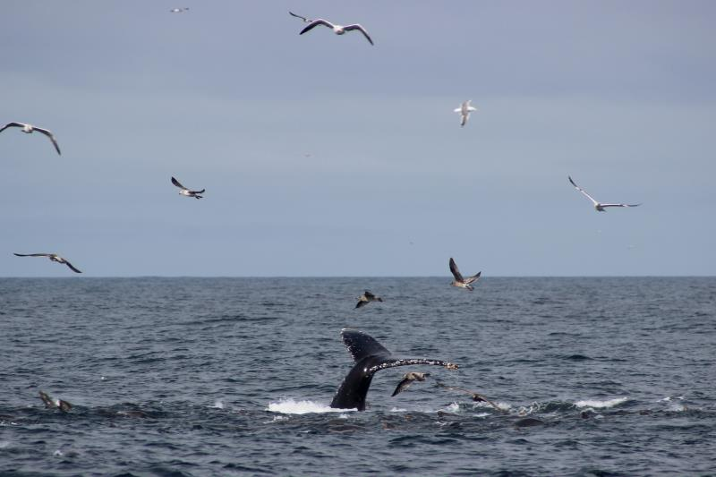 Whale fluke with birds