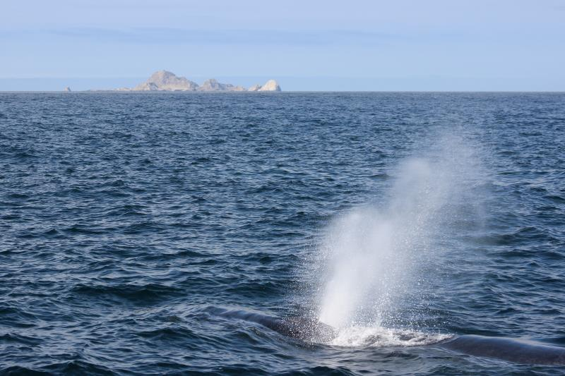 Humpback Whale spout with South East Farallon Islands in background