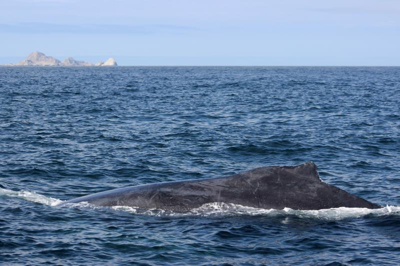 Humpback Whale fin with South East Farallon Islands in background