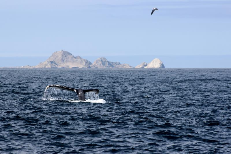 Humpback Whale Fluke and bird with South East Farallon Islands in background