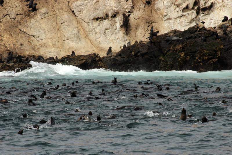 Sea Lions in water of Farallon Islands