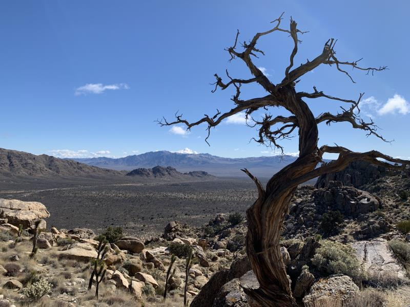 Tree with twisted branches on Teutonia Peak Trail