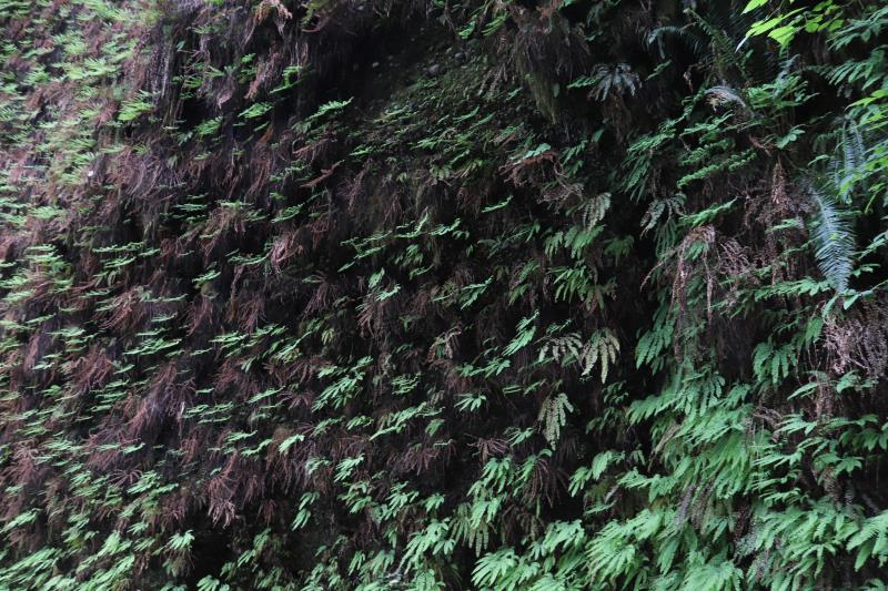 Wall of ferns in Fern Canyon