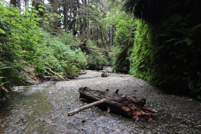Dead tree on path in Fern Canyon