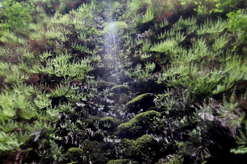 Wall dripping on ferns in Fern Canyon