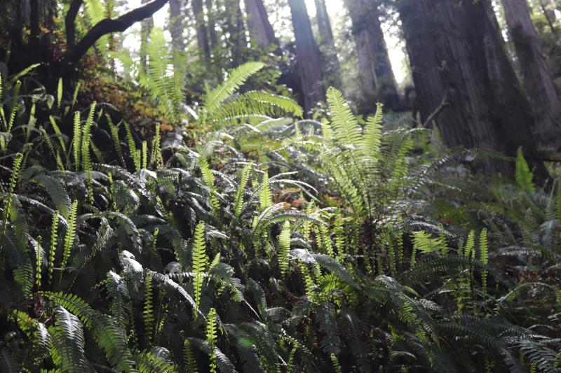 Ferns on James Irvine Trail