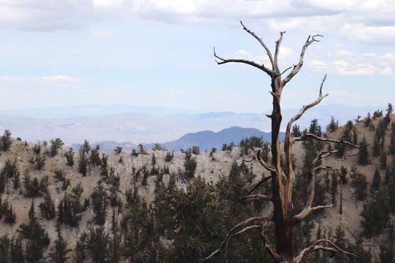 Tree on Methuselah Trail with landscape in background