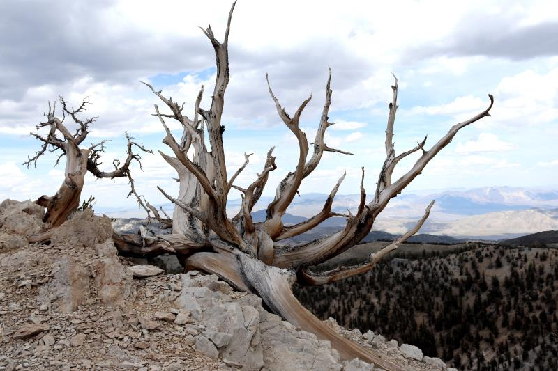 Tree on Methuselah Trail reaching out into landscape
