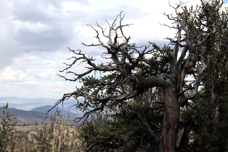 Tree on Methuselah Trail with branches reaching out