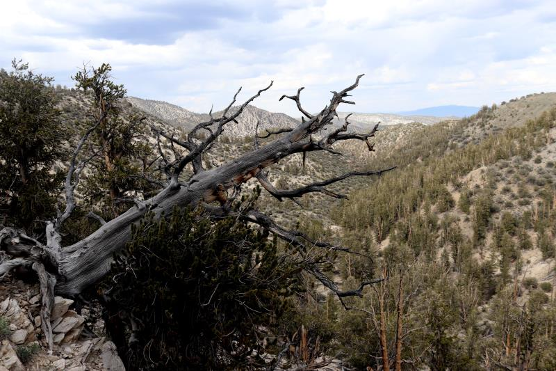 Tree on Methuselah Trail which fell over