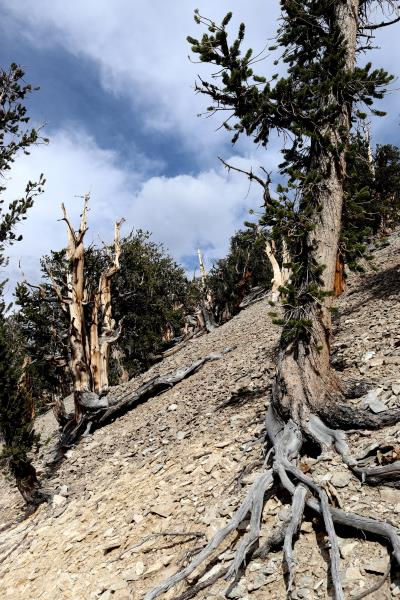 Tree on Methuselah Trail with exposed roots