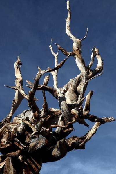 Ancient Bristlecone Pine up close