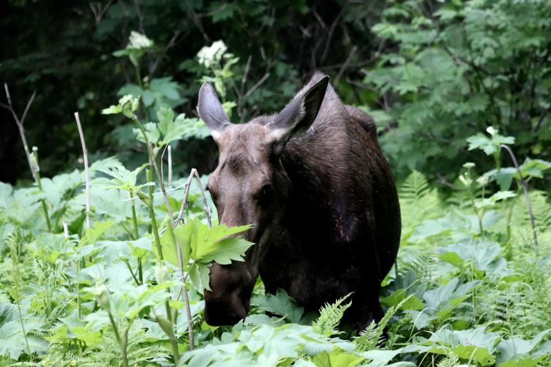 Moose seen from trail