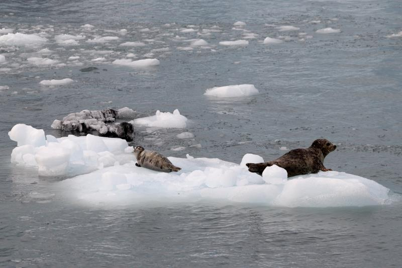 Seals on ice next to glacier