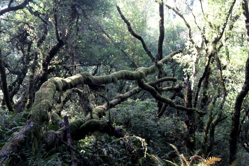 Moss on trees on Dipsea Trail