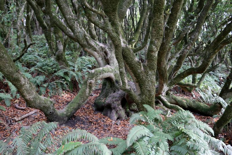 Trees on Dipsea Trail