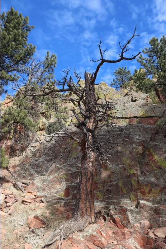 Tree while ascending Mt. Sanitas
