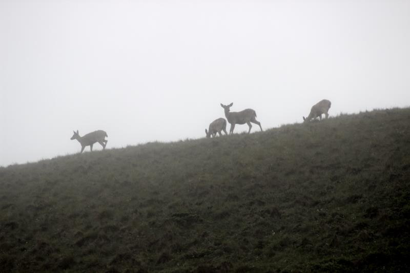 Deer in Point Reyes