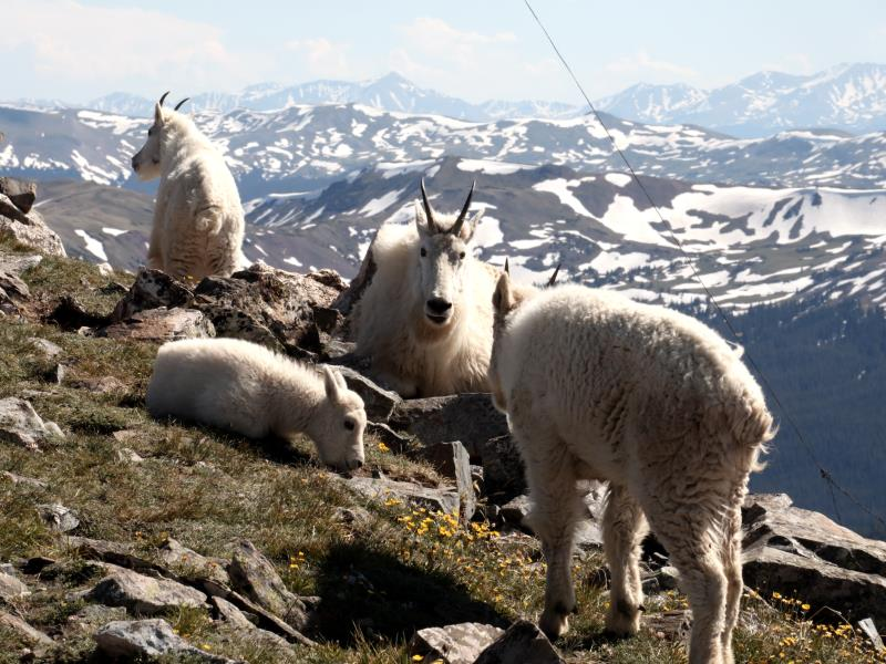 Mountain goats on summit of Buffalo Mountain