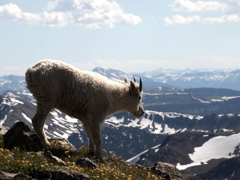 Mountain goat on summit of Buffalo Mountain