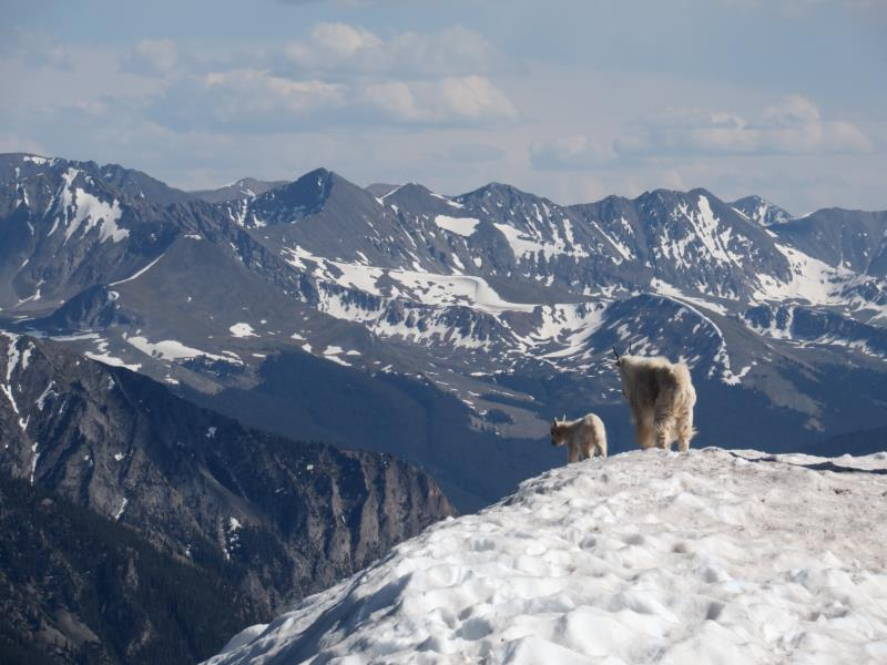 Mountain goats on summit of Buffalo Mountain in snow