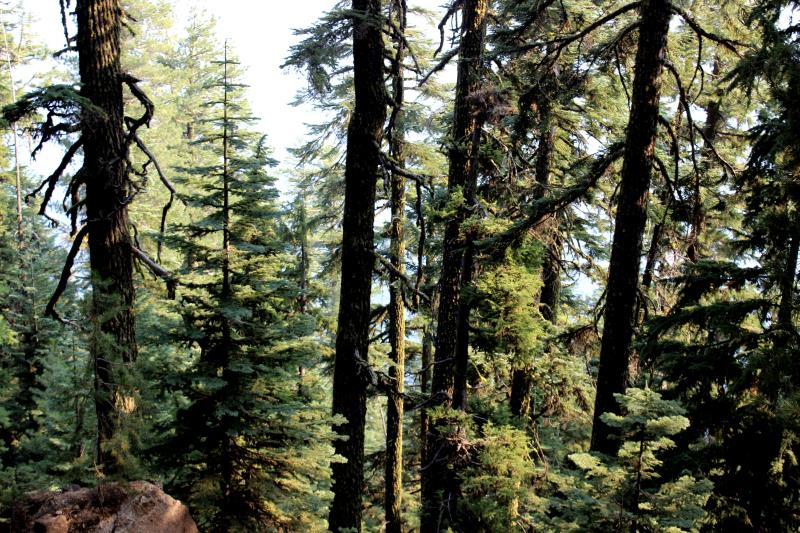 Trees while descending down to Crater Lake