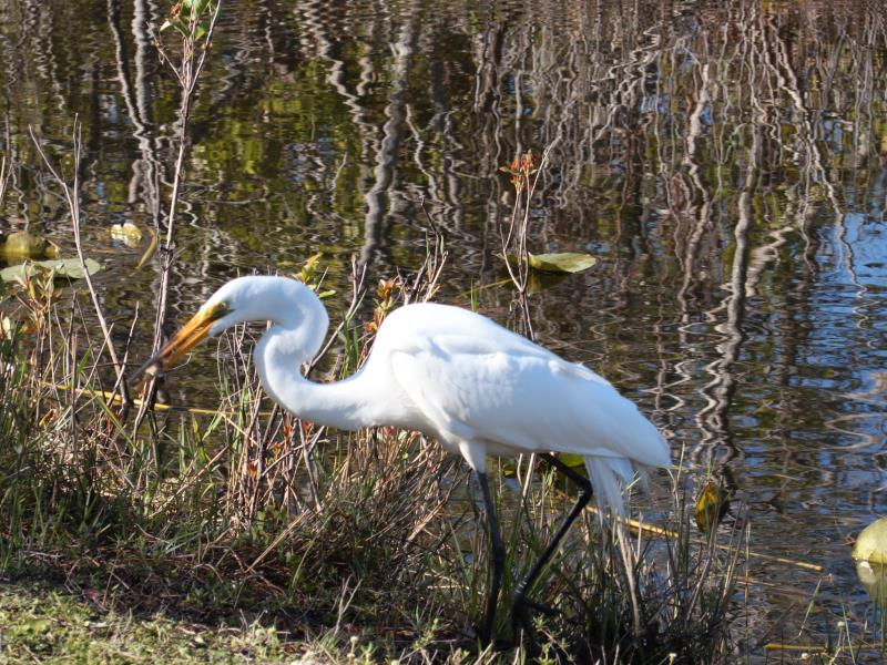 Egret with fish in its mouth