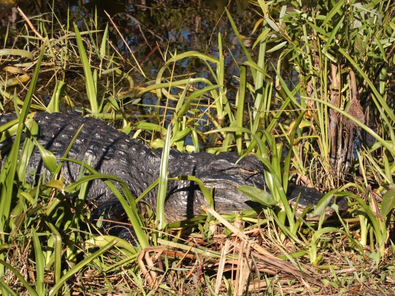 Alligator in grass with eyes closed
