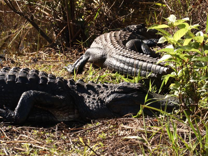 Two alligators at exit of Otter Cave Hammock Trail