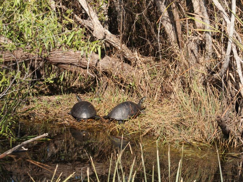 Two turtles in Shark Valley on bike path to tower