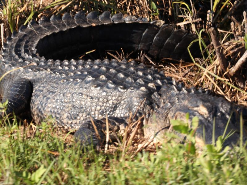 Alligator with eyes closed along bike path in Shark Valley