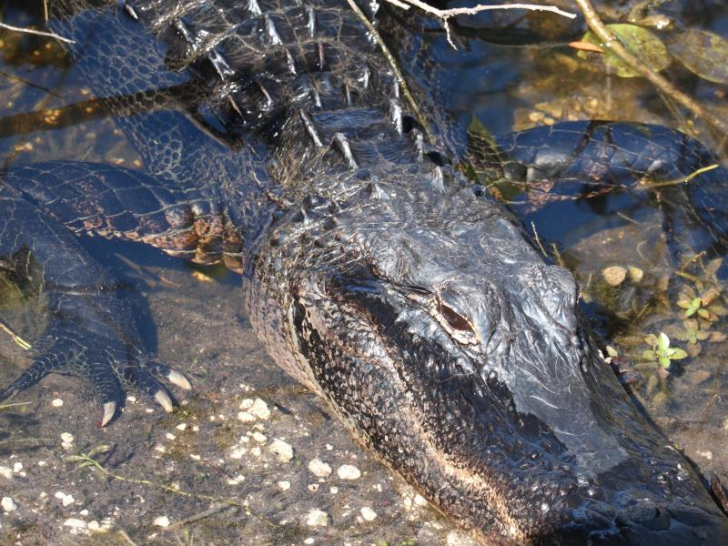 Close up of alligator on walk way to Shark Valley tower