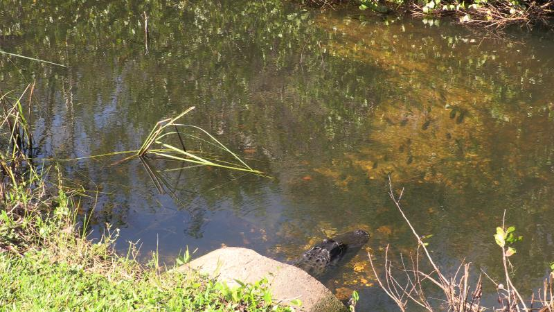 Alligator with fish while heading on bike path in Shark Valley to tower