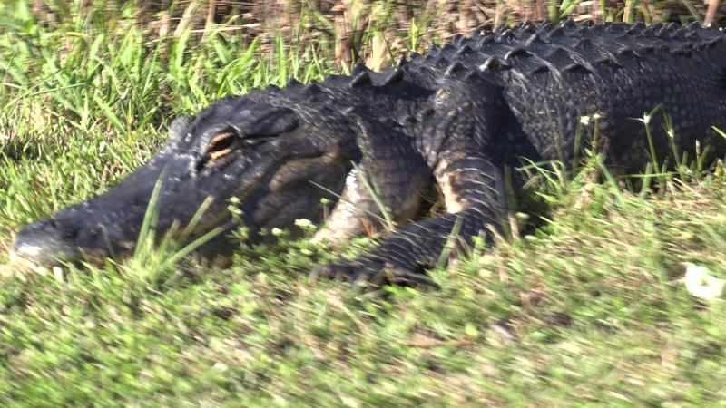 Alligator along bike path in Shark Valley to tower