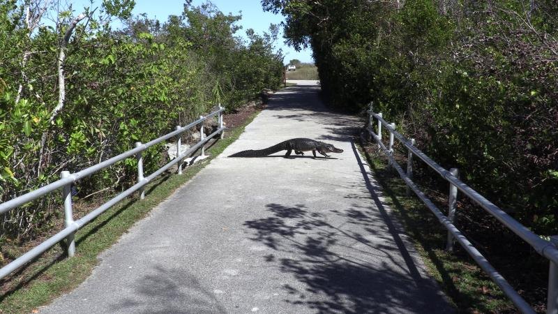 Alligator in middle of path, walking, while leaving Shark Valley Observatory Tower